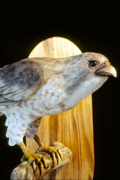 CoppersHawk